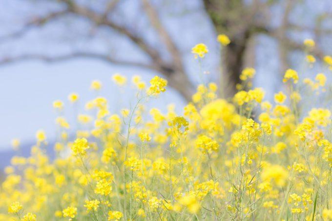 菜の花 花粉がたくさん飛んでそう
